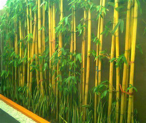 Jual Bibit Bambu Pagar jual tanaman bambu hias bambu jepang bambu air kuning