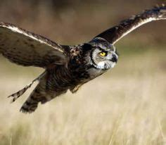 how to attract owls to your backyard 1000 images about animals birds on pinterest owl