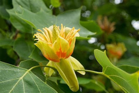 Tennessee State Flower by Tennessee State Tree Tulip Poplar