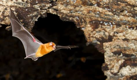 why do bats live in caves science focus