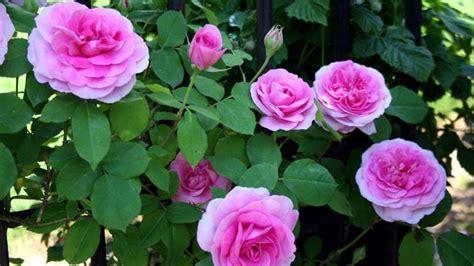 Come Coltivare Le Roselline In Vaso by Ricanti Caratteristiche Delle Ricanti