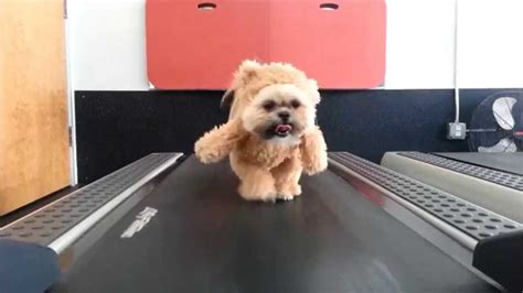shih tzu teddy costume munchkin the shih tzu walks on a treadmill while wearing walking teddy