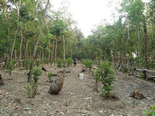 Minyak Atsiri Cendana India cendana akma pohon cendana