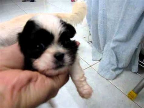 shih tzu mixed with terrier shih tzu mix cotton terrier puppies