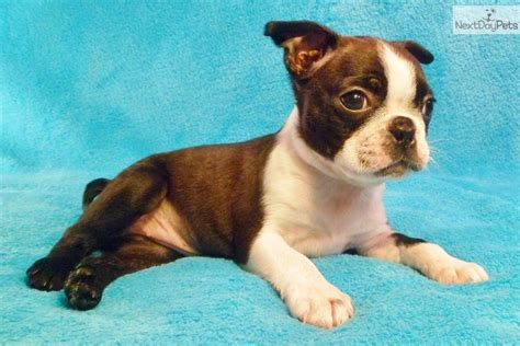 miniature boston terrier puppies for sale in miniature boston terrier puppies breeds picture