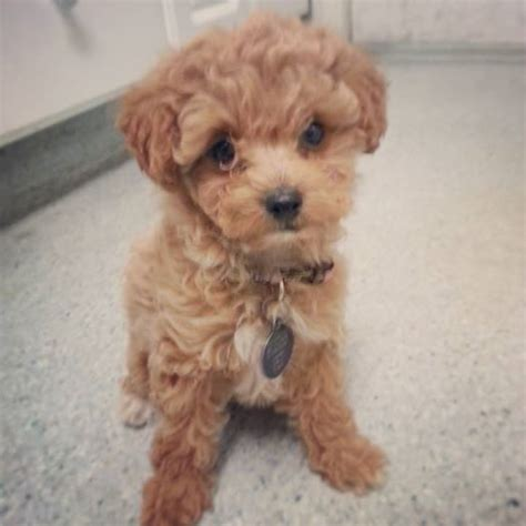 golden retriever maltese mix maltese and golden retriever mix www imgkid the image kid has it