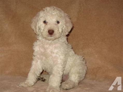 puppies for adoption in ohio adorable f1b labradoodle puppy for adoption for sale in wauseon ohio classified