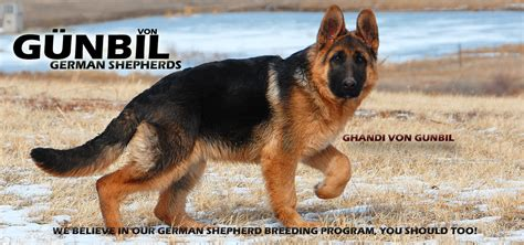 german shepherd puppies denver gunbil german shepherd breeders larkspur colorado 80118