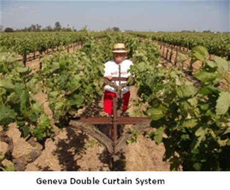 geneva double curtain old world meets new world vineyard viticulture practices