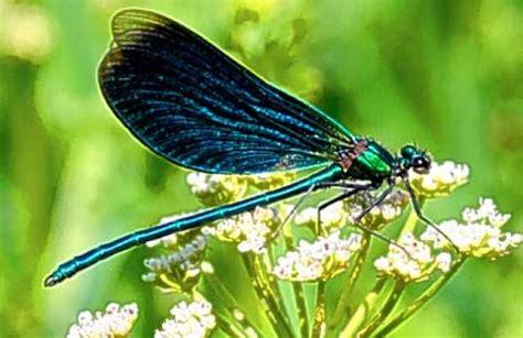 dragonfly colors dragonfly medicine doowans news events