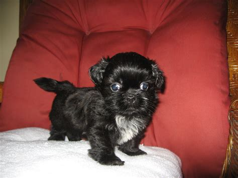 black shih tzu puppy black boxer breeders images