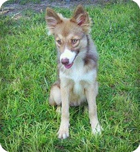 australian shepherd husky mix puppies for adoption cleo adopted groveland fl australian shepherd husky mix