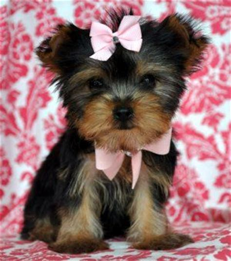 yorkie puppies for sale on ebay the 25 best yorkie haircuts ideas on yorkie terrier haircut