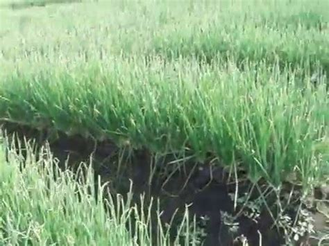 youtube membuat tanaman hidroponik tanaman bawang merah di bedengan youtube