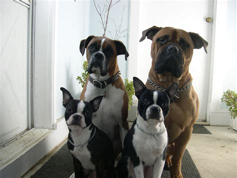re house training a dog 12 reasons dogs boston terriers are better than men