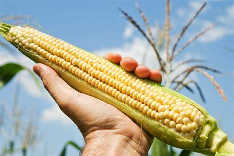 Corn L by Gm Vs Non Gm Corn Healing News