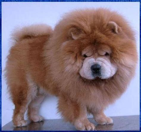 mini chow chow puppies mini chow chow they re like lions puppies are a s best friend