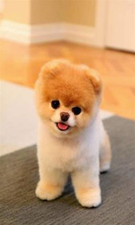 pomeranian for sale tn which shelters rescues receive the donations autos post