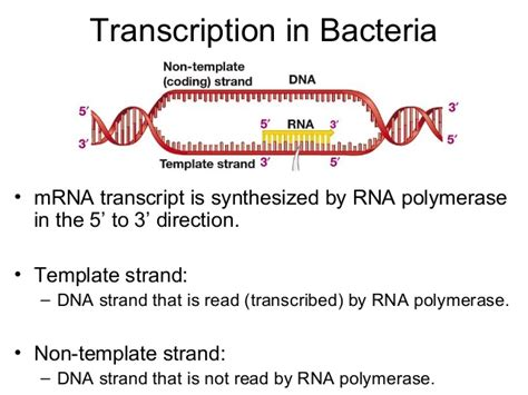 how is the template strand for a particular gene determined 27 28 105 fa13 transcription and translation skel
