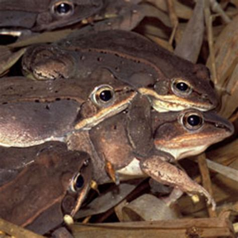 The Frogs And Toads Of North America A Comprehensive