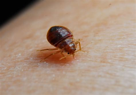 bed bug pic bed bugs health risk treatment pestmall blog