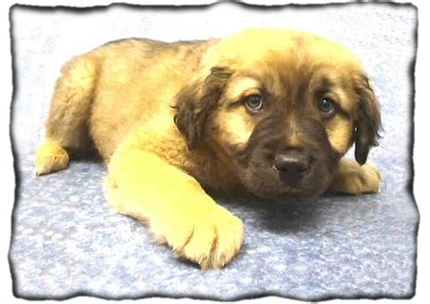 leonberger puppies mn how do you get a to stop chewing on everything pitbulls misunderstood