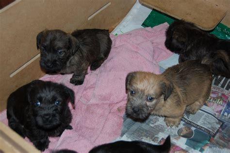 glen of imaal terrier puppies glen of imaal terrier puppy s blackpool lancashire pets4homes