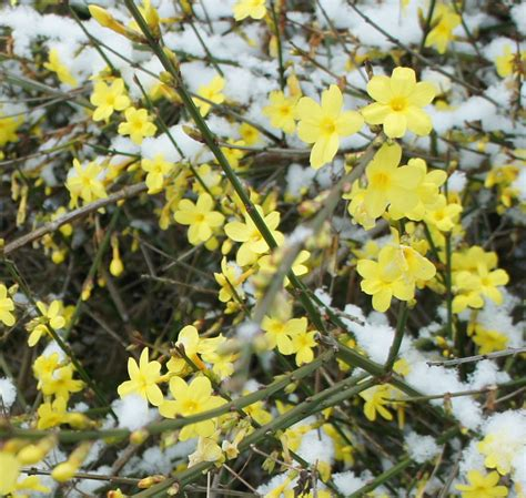 yellow flowering shrubs foragefor news winter flowering shrubs