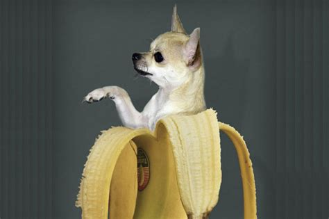 can eat banana can dogs eat bananas let s talk about bananas for dogs