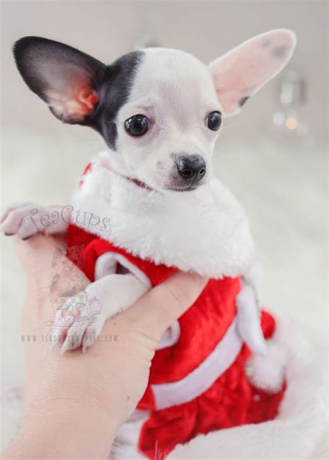 at what age do puppies get what age do chihuahua puppies get teeth 4k wallpapers