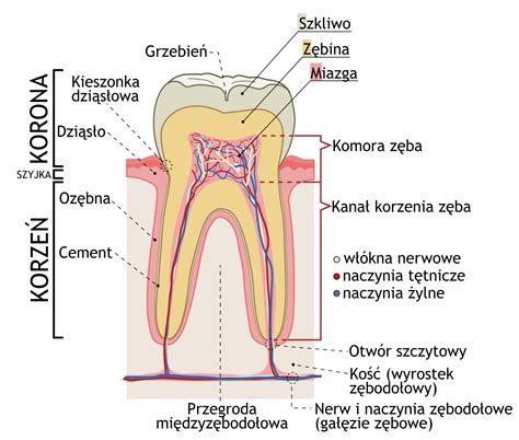 what does cross section mean file cross sections of teeth pl svg wikimedia commons