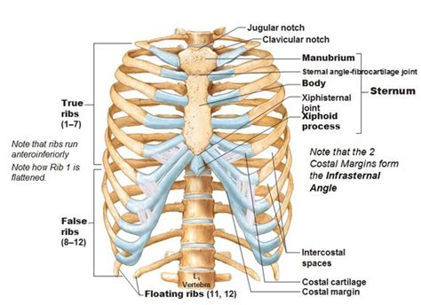 diagram rib cage thoracic cage labeled thoracic cage rib cage ribs true