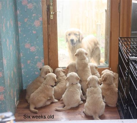 golden retriever puppies kansas golden retriever puppies for sale kansas missouri oklahoma nebraska