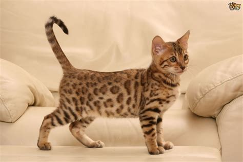 bengal cat colors bengal cat colours and coat types pets4homes