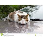 Homeless Cat Sleeping On The Car Stock Photo  Image Of