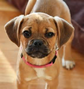 pugs and beagles best 25 pug beagle mix ideas on puggle puppies types of puppies and