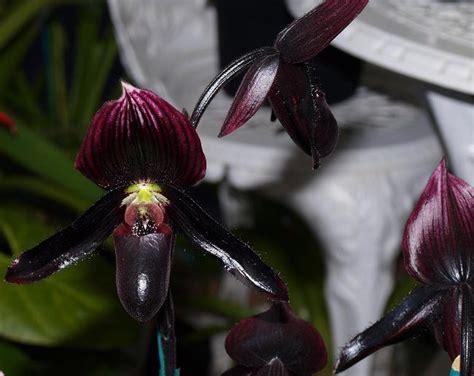 black orchid black orchid