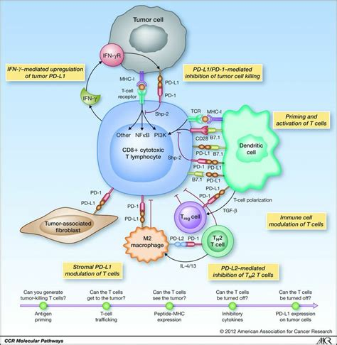 tumour immunology and the pd 1 and pd l1 pathway immuno oncology pathways and