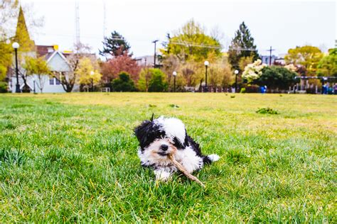 shih tzu likes and dislikes ruffined spotlight melon the shichon seattle refined
