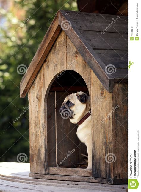 pug dog house funny pug dog in the dog house stock photo image 45555841
