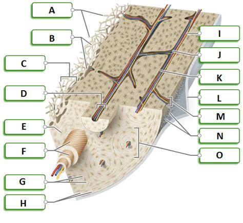 osseous tissue diagram anatomy and physiology 1 at indiana