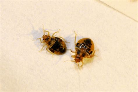 small beetles in bed bed bug pictures high resolution images