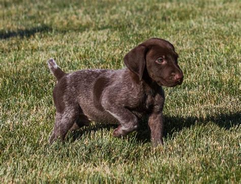 german shorthaired pointer puppies for sale oregon handsome german shorthaired pointer puppies craigspets