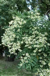 beautiful landscaping sophora japonica regent havlis cz