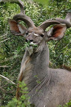 kudu wikipedia