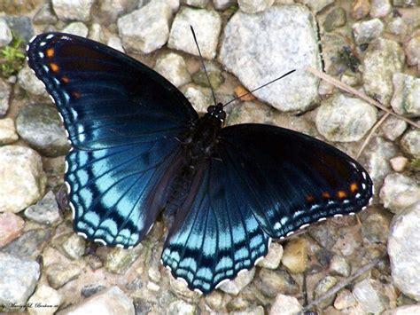 imagenes reales red wings las mejores fotos de mariposas 2018 haciendofotos com