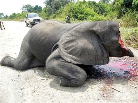 Victim of elephant poaching   Weird Picture Archive