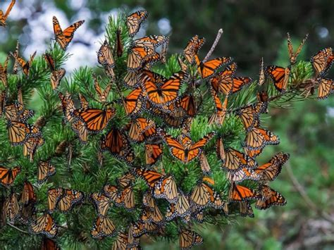 monarch butterfly roosts reveal migration pathways