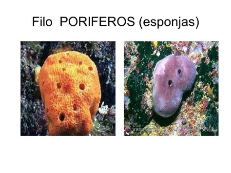 imagenes de animales poriferos reino animal invertebrados ppt video online descargar