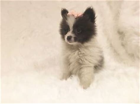 pomeranian ontario pomeranian kijiji free classifieds in ontario find a buy a car find a house